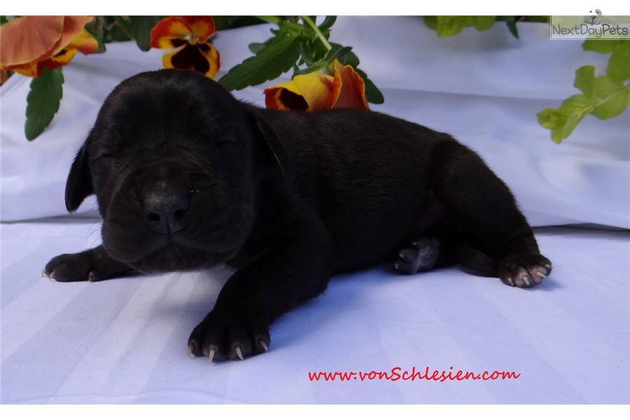 Black Great Dane Puppy Meet Black Male a cute...