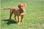 Picture of Dogue de Bordeaux female
