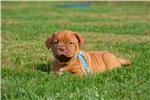 Picture of Dogue de Bordeaux male