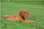 Picture of Dogue de Bordeaux - Black Collar Male