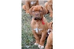 Picture of Dogue de Bordeaux female puppy Red Collar