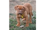 Picture of Dogue de Bordeaux female puppy Yellow Collar