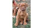 Picture of Dogue de Bordeaux female puppy White Collar