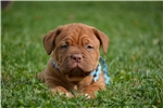 Picture of Dogue de Bordeaux male Blue Collar