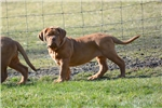 Dogue De Bordeauxes for sale