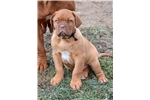 Picture of Dogue de Bordeaux male (Black Collar)
