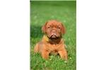 Picture of Dogue de Bordeaux - Green collar female