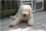 Picture of Komondor male puppy