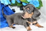 Dachshund, Mini for sale