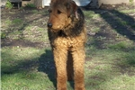 Picture of AKC Large size Girls