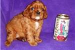 Picture of AKC Ruby Male