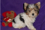 Picture of AKC Parti Yorkie