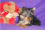Picture of AKC Tiny Girl