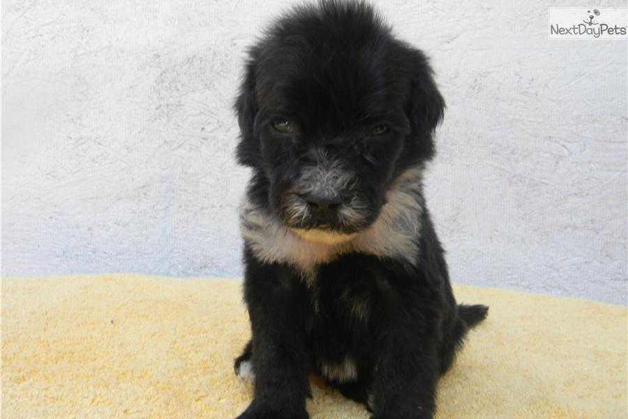 Portuguese Water Dog For Sale Florida Hershey: Portuguese Wa...