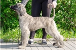 Afghan Hound for sale