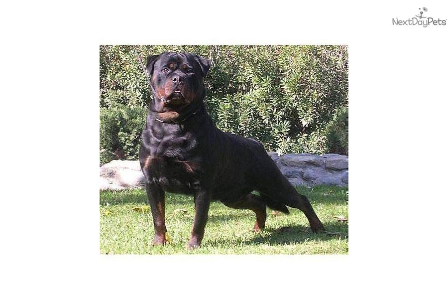 von-ruelmann-rottweilers-incdog-rottweiler-puppy-11589img2.jpg