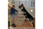 Picture of a Shiloh Shepherd Puppy