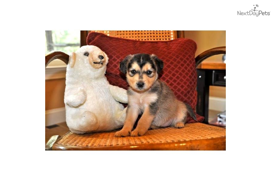 adopt wendy   rescue a siberian husky puppy for wendy