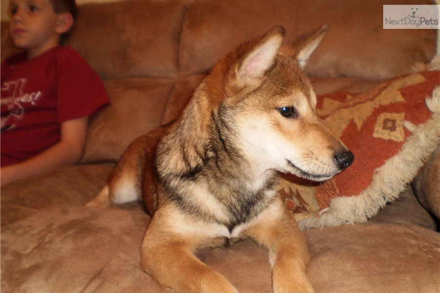 ... Shiba Inu puppy for sale for $500. HACHI TOO Shiba Inu Red Sesame