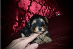 Picture of Female Morkie Poo (Stormie)