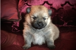 Picture of Female Pomeranian Puppy (Ellie)
