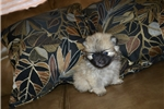 Picture of Female Pomeranian Puppy (Ginger)