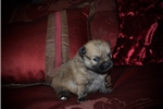 Picture of Male Pomeranian Puppy (Mikey)