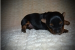 Picture of Female Yorkie Puppy (Bridget)