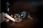 Picture of Female Yorkie Puppy (Lizzi)