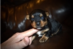 Picture of Female Yorkie Puppy (Belle)