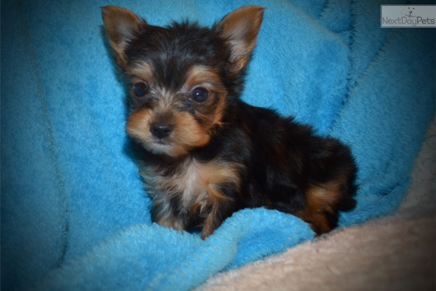 Yorkshire Terrier - Yorkie puppy for sale near Central Louisiana ... Yorkshire Terrier 911