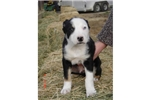 Picture of a McNab Puppy