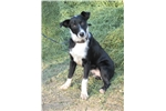 McNab Male Pup | Puppy at 38 weeks of age for sale