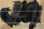 Dutch Shepherd for sale