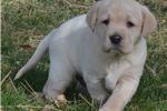 Labrador Ret