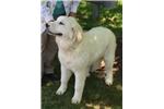 Picture of Majesta Great Pyrenees puppy