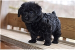 Picture of Female JACKAPOO Puppy