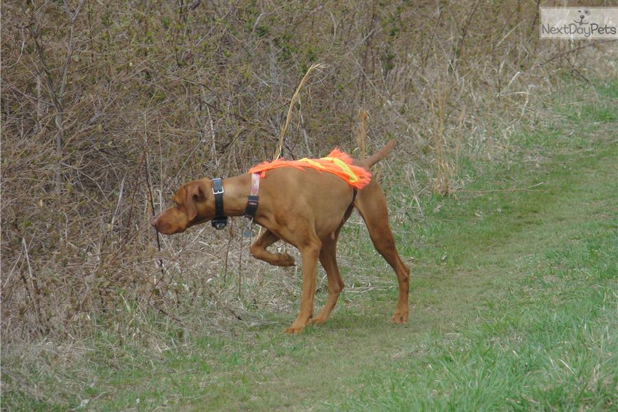 AKC Vizsla puppies for sale | Vizsla puppy for sale near Southeast ... Vizsla Oregon