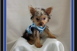 Picture of Mikie will be 4.5 lbs full grown