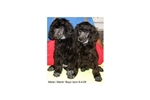 Featured Breeder of Miniature Poodles with Puppies For Sale