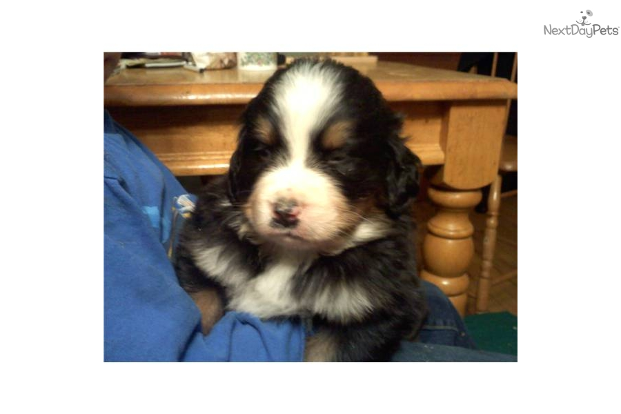 Australian Cattle Dog Puppies For Sale Midwest