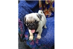 Picture of AKC Champion Bloodline Pug Puppies Fawn - Apricot