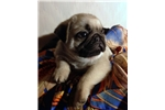 Picture of AKC Champion Bloodline Pug Puppies Fawn Male