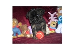 Picture of a Brussels Griffon Puppy