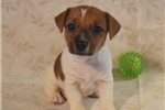 Russell Terrier for sale