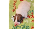 Picture of TINSELLE ~ AKC Shorty