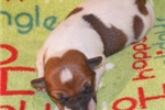 Picture of J-BELLE ~ AKC Shorty