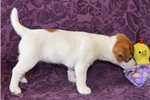 Picture of a Russell Terrier Puppy