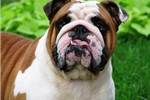 Featured Breeder of English Bulldogs with Puppies For Sale