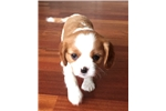 Picture of Henry - Male AKC available